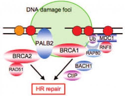 BRCA NEXT: IL GENE PALB2